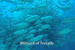 BlizzardofTrevally