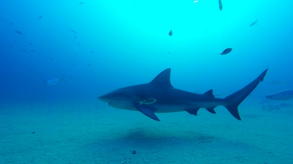 Bull shark 2